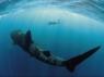 Whale Shark gets black box flight recorders